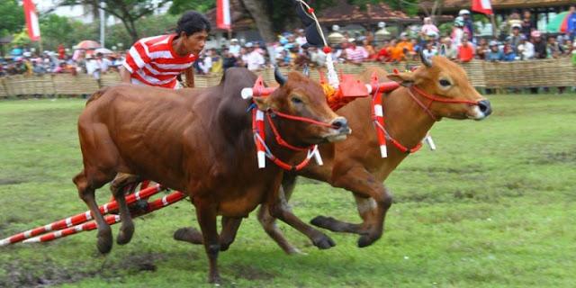 festival-karapan-sapi-masih-jadi-magnet-bagi-turis-asing