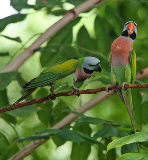 Birds of India - Photo of Red-breasted parakeet - Psittacula alexandri