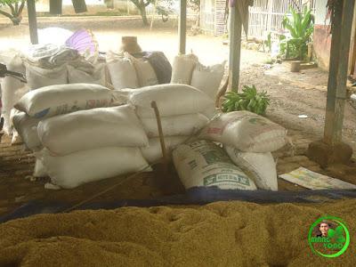 Padi dimasukan karung untuk selanjutnya disimpan di lumbung di rumah petani Desa Bendungan, Pagaden Barat, Yono