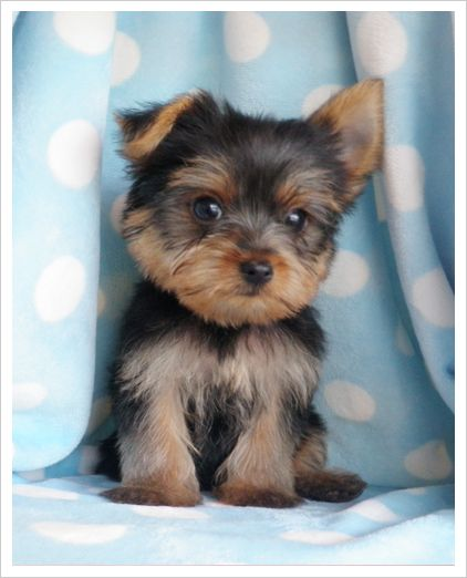 Smallest Toy Dog Breeds : Which small dog breed is right for me luv my dogs