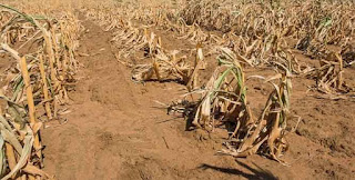Drought-hits the harvest of the staple maize crop