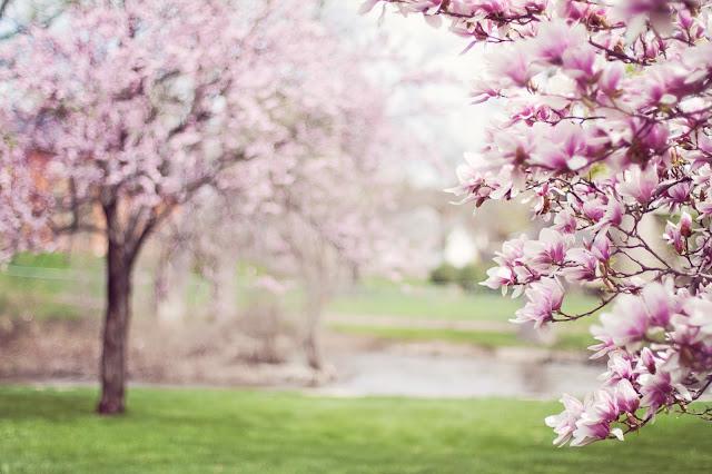 Die Magnolien blühen