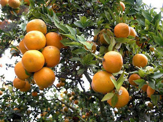 Wild Orange Fruit Pictures