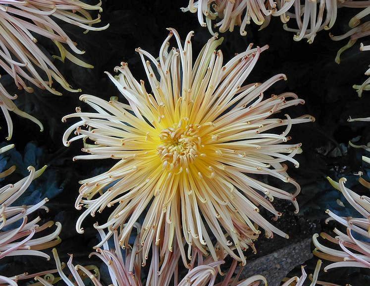 My Virtual Garden Chrysanthemum Festival