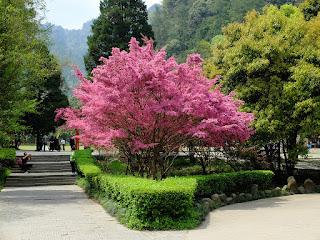 Розовое дерево – представитель тропической флоры семейства лавровых