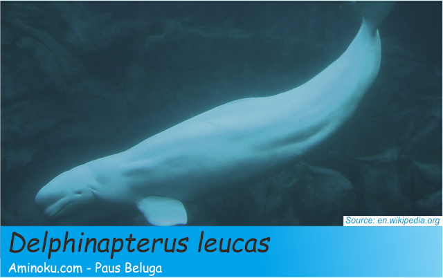 Paus Beluga