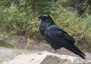 photo of Raven from Pixabay