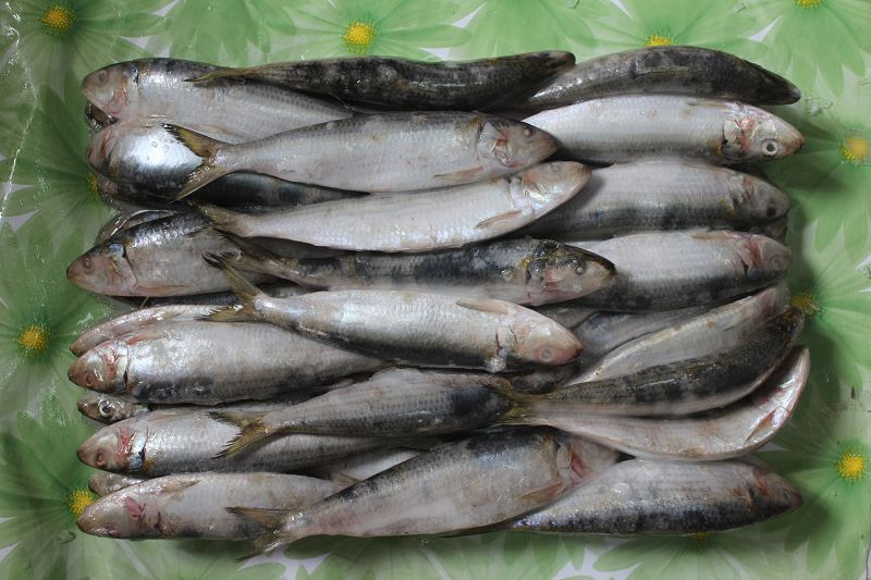Frozen Sardines Bait for Your Successful Fishing Catch