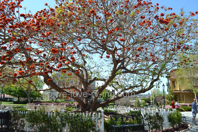 This large tree is blooming with vivid orange blossoms