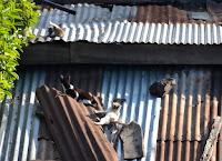 Katzen auf dem noch nicht heißen Blechdach. Cats on a not hot tin roof.
