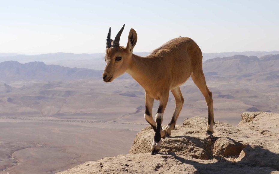 Jael The Mountain Goat Deborah Barak And Jael Part 2