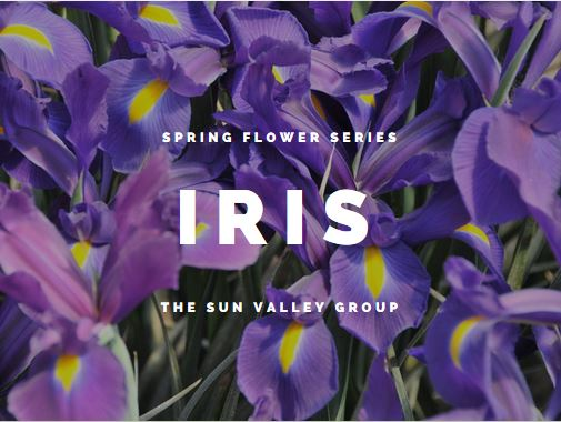 Sun Valley Telstar Iris