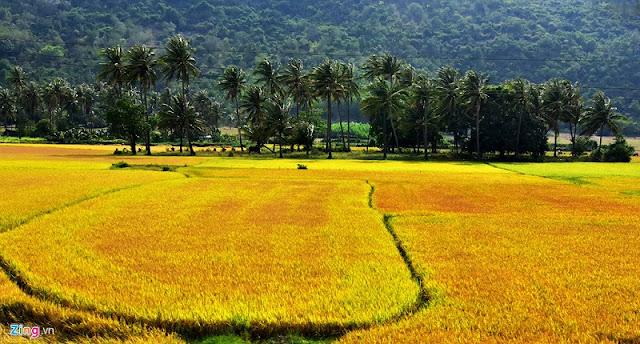 Vietnam is wonderful in ripen rice season 8