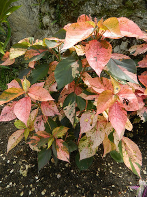 Acalypha wilkesiana Jacob's coat at Orchid World Barbados by garden muses-not another Toronto gardening blog