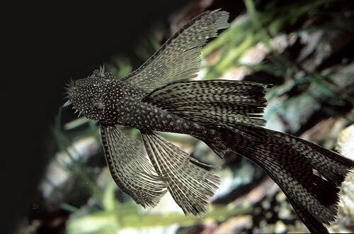 cá tỳ bà đen vây dài trong bể thủy sinh