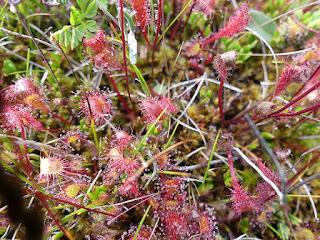 Droséra d'Angleterre - Drosera anglica - Rossolis d'Angleterre
