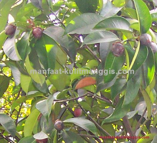 Manfaat Daun Sirsak Dan Kulit Manggis: Ramuan Herbal Kulit Manggis