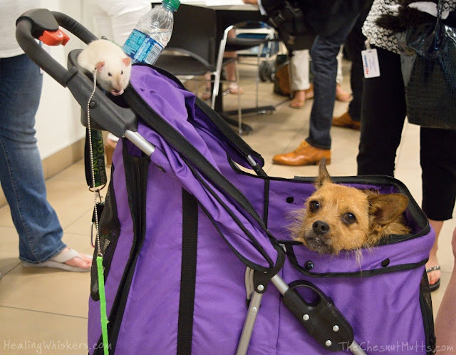 Jasper from Healing Whiskers and Jada from The Chesnut Mutts in a stroller