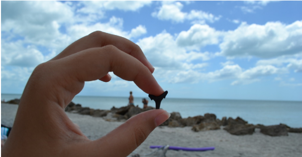 many lucky shark teeth was found on a beach in Venice, Florida