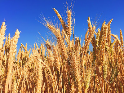 A field of wheat with blue sky in the background.  Scatter those seeds!