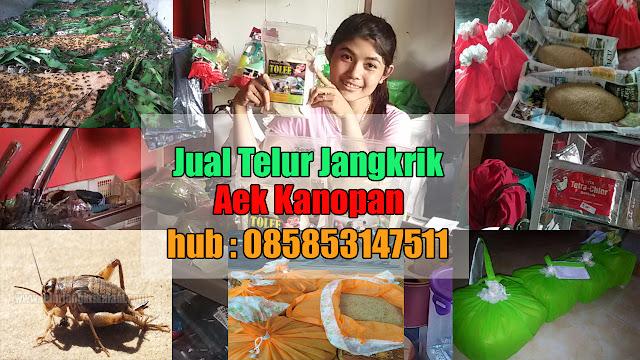 Jual Telur Jangkrik Aek Kanopan Hubungi 085853147511