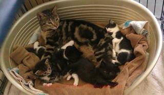Membantu Kucing Kesayangan Melahirkan? Kenapa Tidak!. 3 Cara untuk Membantu Kucing Melahirkan, Cara Menangani Kucing Melahirkan