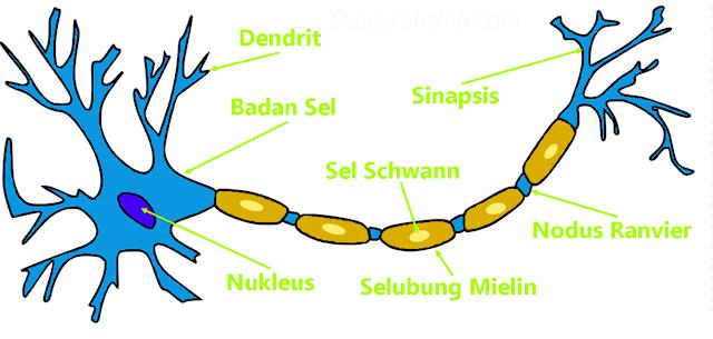 Materi Sistem Koordinasi pada Manusia, Sistem Saraf, Sel Saraf, Susunan Saraf Manusia, Sistem Hormon, dan Kelainan Sistem Koordinasi IPA SMP Lengkap