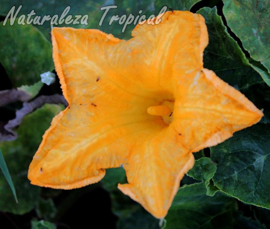 Flor del Calabacín, Cucurbita pepo