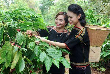 Mùa Hoa Cà Phê Nở ở  Buôn Ma Thuột Đăk Lăk