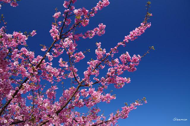 伊豆・河津櫻祭,櫻花在陽光下看會有水晶的感覺呢