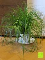Erfahrungsbericht: Katzengras - Cyperus alternifolius - 3 Pflanzen - zur Verdauungsunterstützung von Katzen