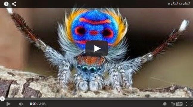 العنكبوت الطاووس