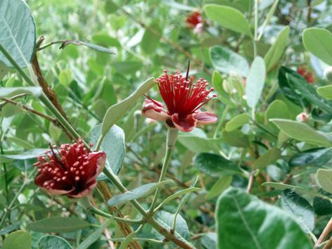 feijoa sellowiana (acca o guayabo del brasil) características