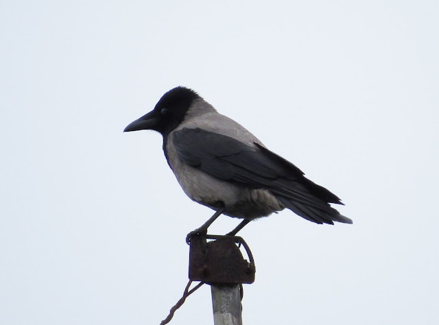 Hooded Crow - Holyhead, Anglesey