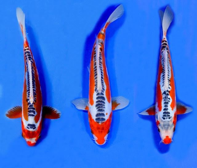 Dunia Ikan Hias - KOI SHUSUI