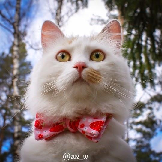 Turkish Van cat with bow tie