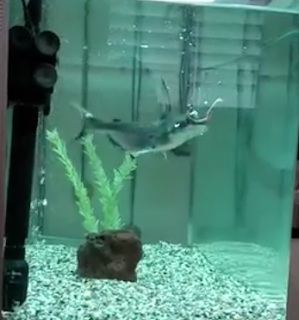 כריש פארון אוכל תולעת