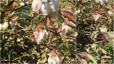 bee, beekeeping, blueberry, Carpenter Bees, nectar, foraging,
