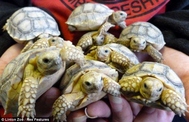 The Animal Zone Shellshocked Giant Tortoise Sets The