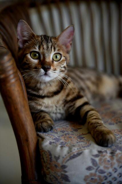 Sejarah Kucing Bengal dan Ciri-cirinya