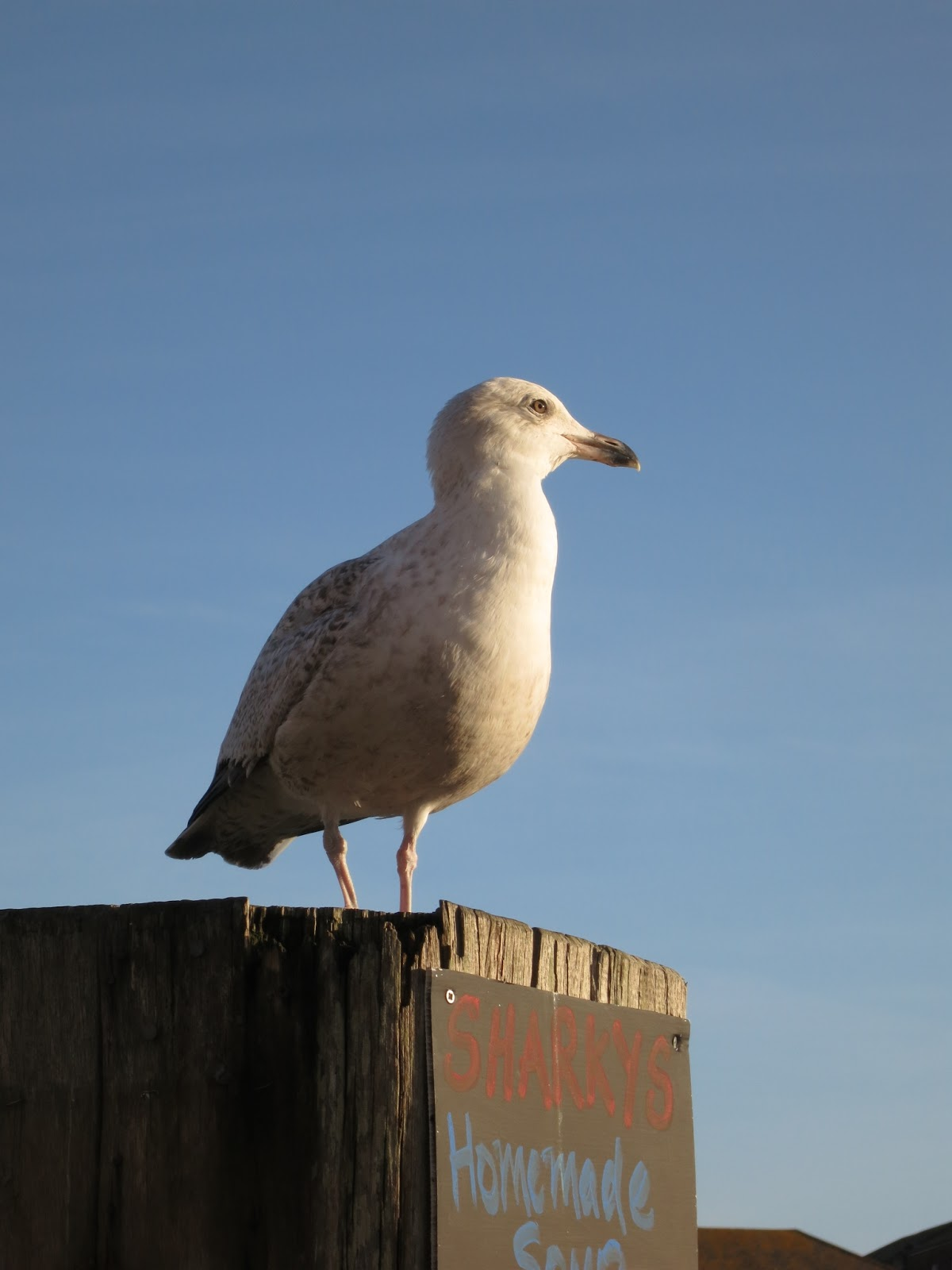 Gull on wooden post wit advert for Home Made Soup.