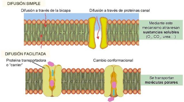Transporte pasivo y transporte de moleculas