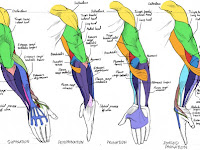Arm Muscle Diagram
