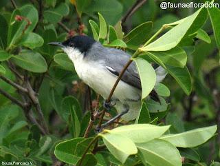 Balança-rabo-de-chapéu-preto Polioptila plumbea (Gmelin, 1788)