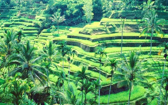 Rice fields in Ubud Bali Indonesia