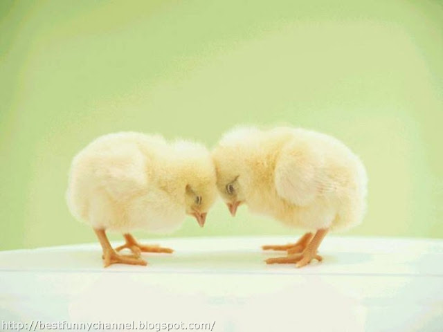 Cute chickens.