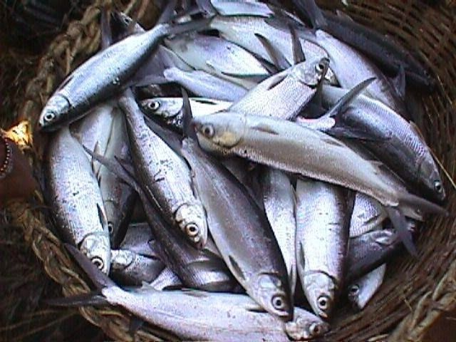 Mengenal Ikan Bandeng