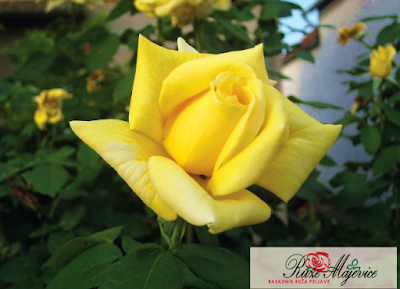 Prihrana ruža stajnjakom i vještačkim gnojivom