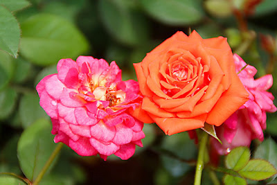 red & orange rose