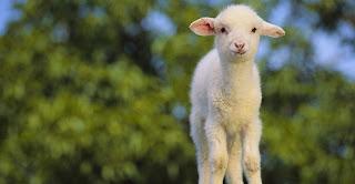 Resultado de imagen de ovelha